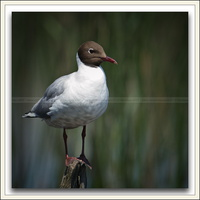 Mouette rieuse-070613-0257