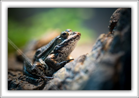 Grenouille rieuse-290514-4981