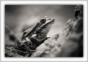 Grenouille rieuse-290514-4982