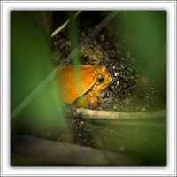 Grenouille tomate-290514-5173