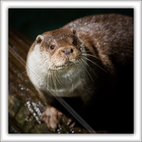 Loutre d'Europe-100511-7598