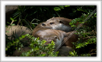 Loutre d'Europe-100511-7609