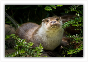 Loutre d'Europe-100511-7612