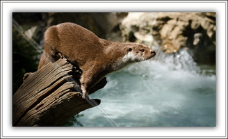 Loutre d'Europe-100511-7616
