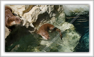 Loutre d'Europe-100511-7620
