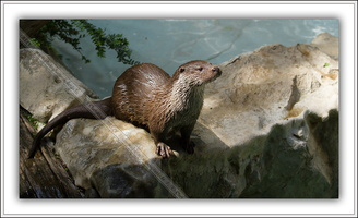 Loutre d'Europe-100511-7622
