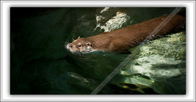 Loutre d'Europe-100511-7623