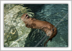 Loutre d'Europe-100511-7625
