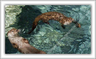 Loutre d'Europe-100511-7628