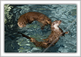 Loutre d'Europe-100511-7632
