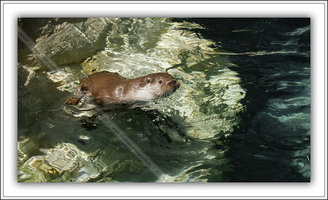 Loutre d'Europe-100511-7634