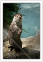 Loutre d'Europe-100511-7648
