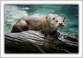 Loutre d'Europe-230614-8865