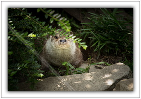 Loutre d'Europe-230614-8820