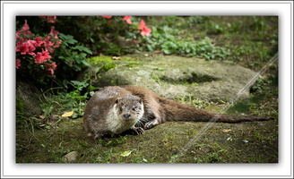 Loutre d'Europe-230614-8853