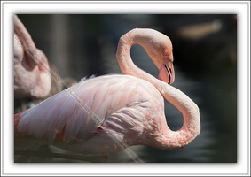 Flamand rose-080914-2513