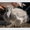 Flamand rose-080914-2520