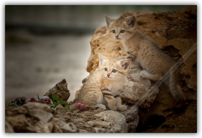 Chat des sables-030712-3324 p