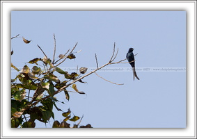 Drongo royal-190212-0031