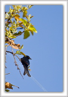 Drongo royal-210212-0947