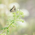 Machaon-200416-3925